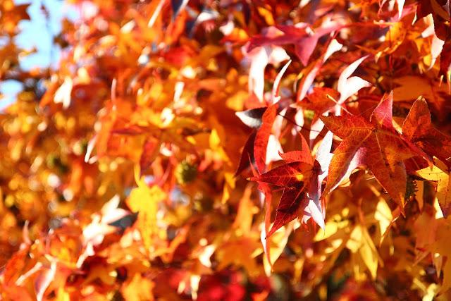 Foglie rosse in autunno nel Parco della Pellerina a Torino